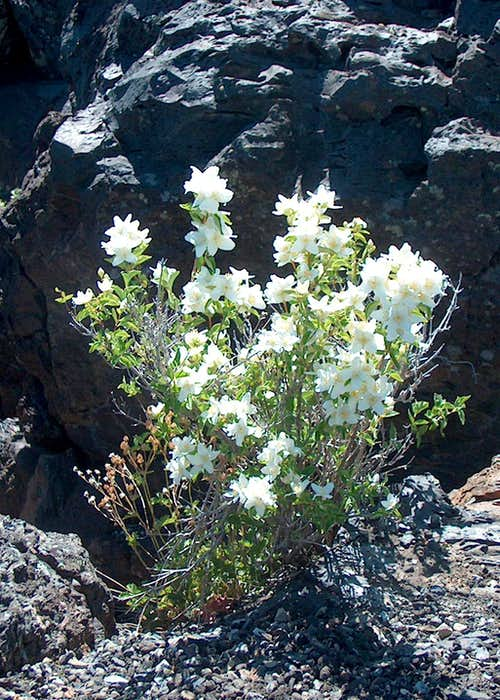 "Wildflowers in ""Black and White"" (Syringa)"