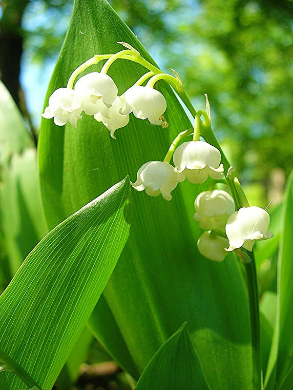 lily of the valley convallaria majalis photos diagrams topos summitpost. Black Bedroom Furniture Sets. Home Design Ideas