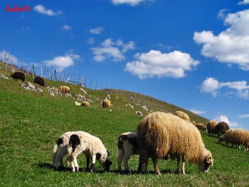 Sheep on Lukomir village