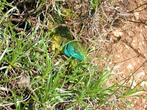 Colorful lizard - Lacerta virdis