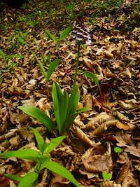 Orchis purpurea HUDS - Bíbor kosbor