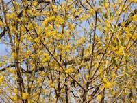 Flowering bunch-berry (Virágzó sombokor)
