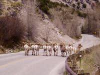 11 Rams