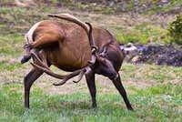 Elk Scratch