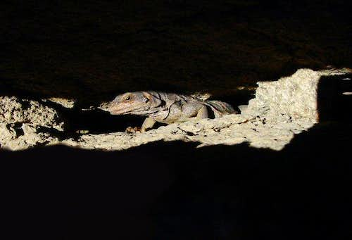 Chuckwalla hideing in rock...