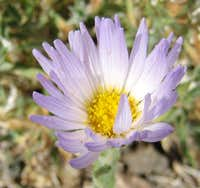 Mojave Aster on Guardian