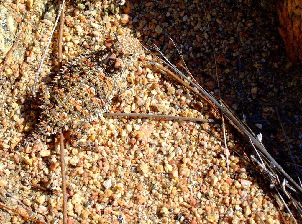 San Diego Horned Lizard