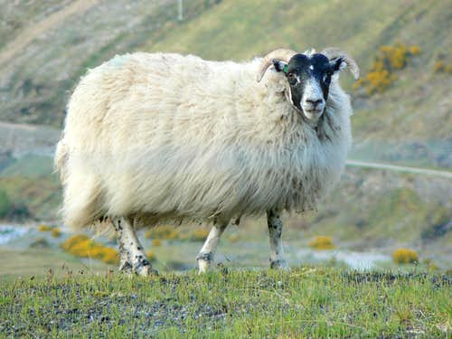 A Sheep in Bridge of Orchy