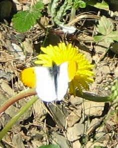 Anthocaris cardamines (Aurorafalter)