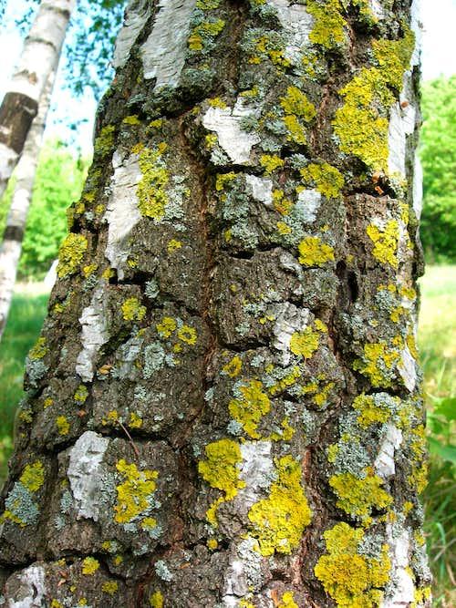 Lichens on a Birch