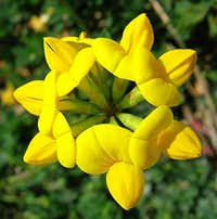 Bird\'s-foot Trefoil <b><i>Lotus corniculatus</i></b>