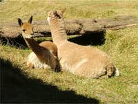 Guanako (Lama guanicoe), left and Alpaka (Lama pacos) right