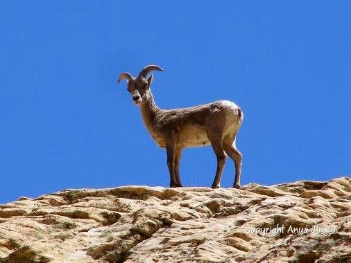 Ewe high above Pine Creek
