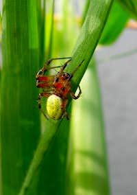 Cucumber green spider (Araniella cucurbitina)