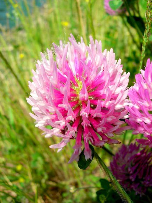 Red Clover <b><i>Trifolium pratense</i></b>