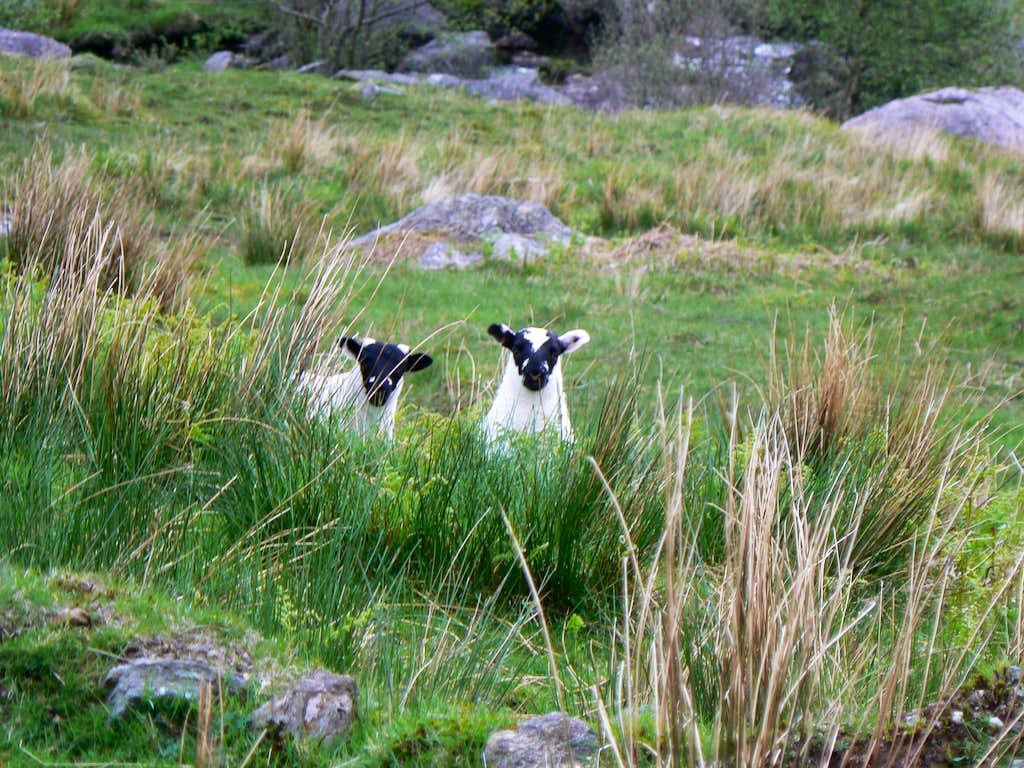 2 inquisitive lambs