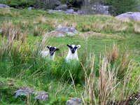 2 inquisitive lambs
