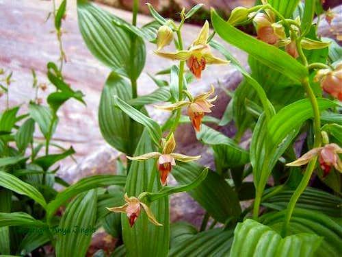 Stream Orchids