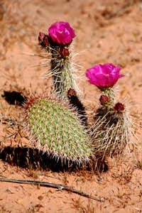 Bloomin\' Prickly Pear
