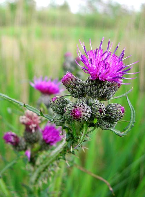 European Marsh thistle <i><b>Cirsium palustre