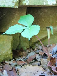 Jack in the Pulpit Growing on the Trail