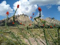 Ocotillo with Organ Mountains