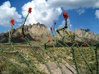 Ocotillo with Organ Mountains
