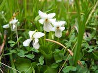 Viola macloskeyi, High Meadows, Carson Range