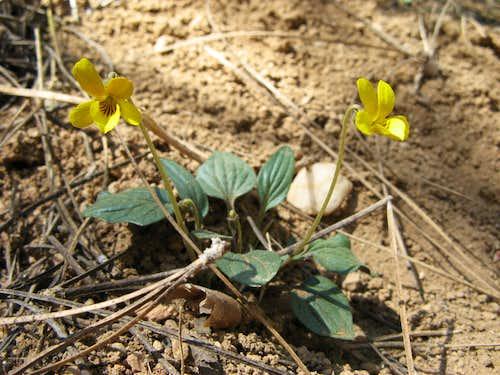 Viola purpurea ssp. integrifolia, Cold Creek Trail, Carson Range