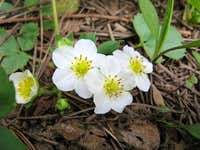 Fragaria virginiana, Wild Strawberry, South Lake Tahoe