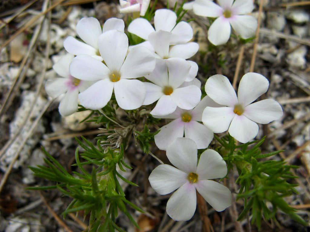 Phlox diffusa, Spreading Phlox, South Lake Tahoe