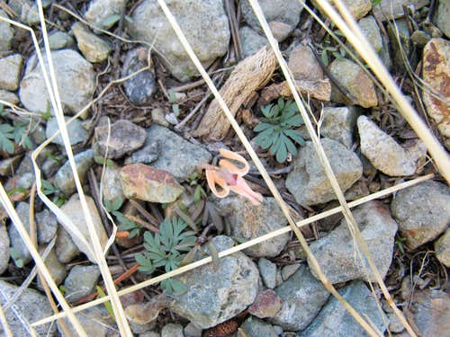 Dicentra uniflora, Steer's Head, Mt. Tallac