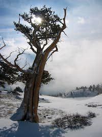 Mighty Bristlecone Tree