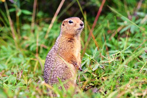 Willy, the Arctic ground squirrel
