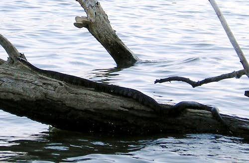 BIG Water Snake