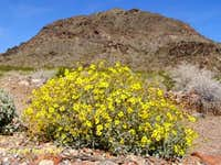 Black Mountain and Brittlebush
