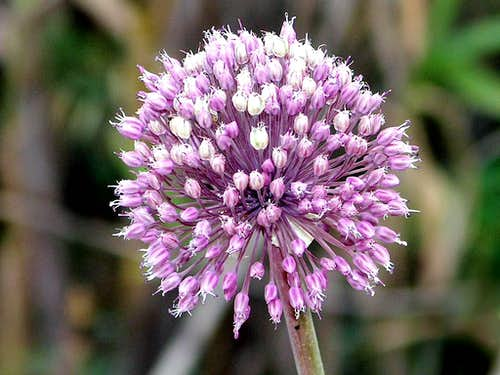 Wild onion flower