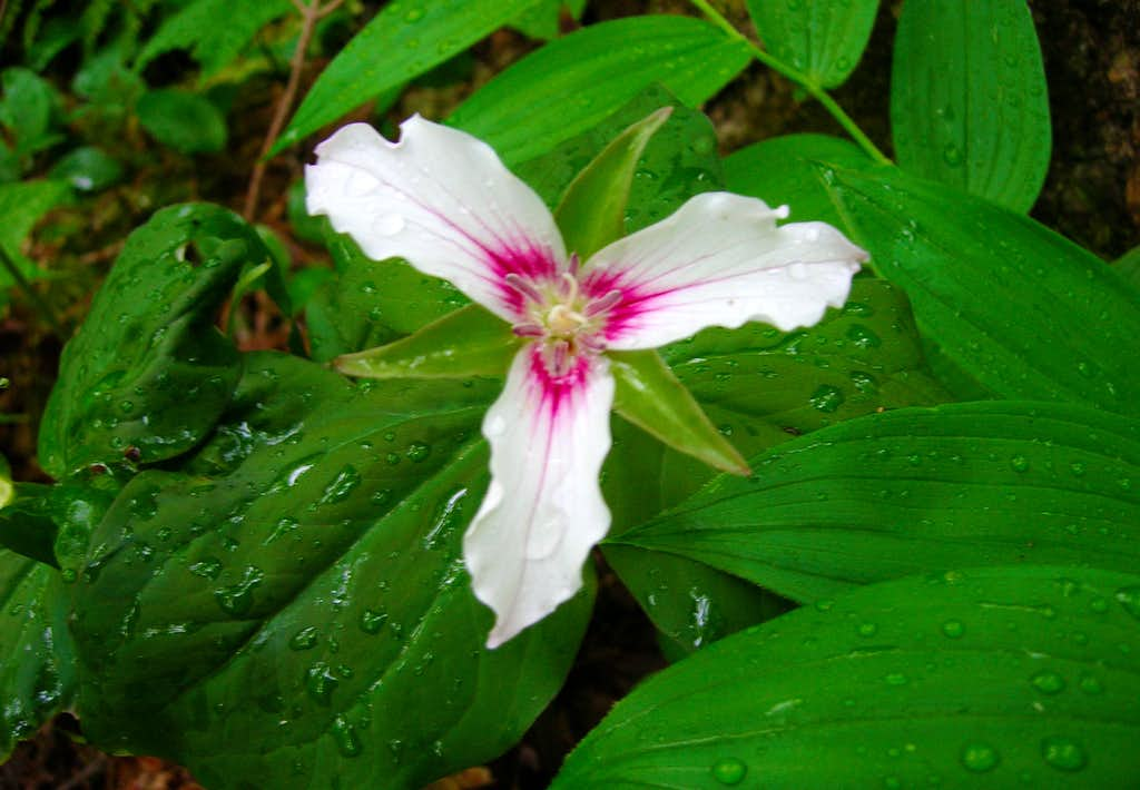 Adirondack Trillium Undulatum