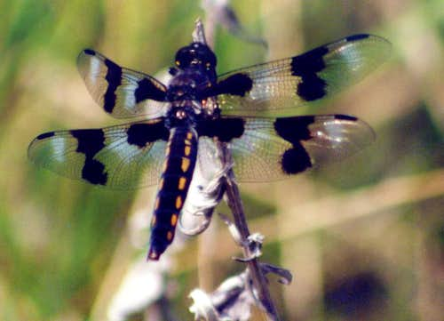 Eight-Spotted Skimmer, Blitzen River Canyon, May 2006