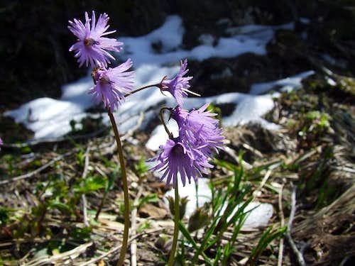 Soldanella alpina ...