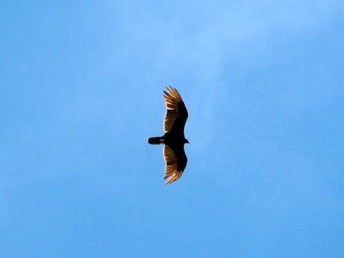Turkey Vulture waits for me to drop