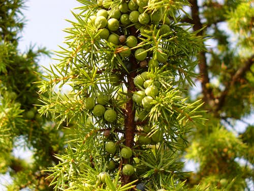 Juniper fruits (Boróka bogyók)