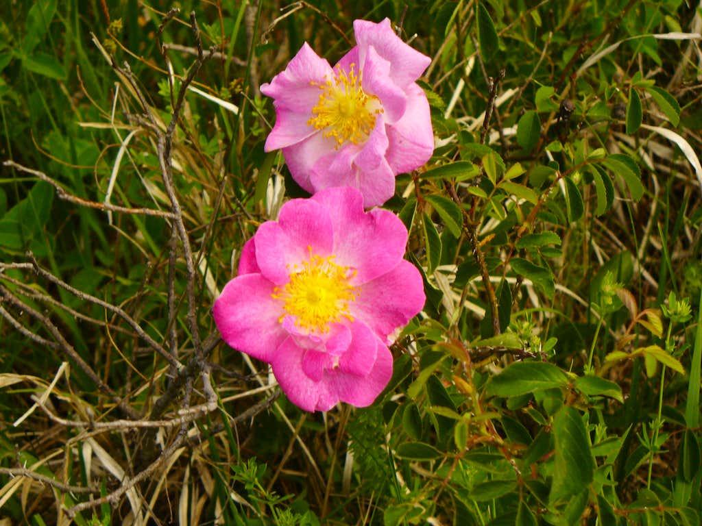 Rosa canina (Gyepûrõzsa)