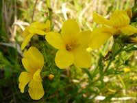 Helianthemum ovatum (Közönséges napvirág)