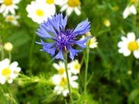 Blue Cornflower (Centaurea cyanus)