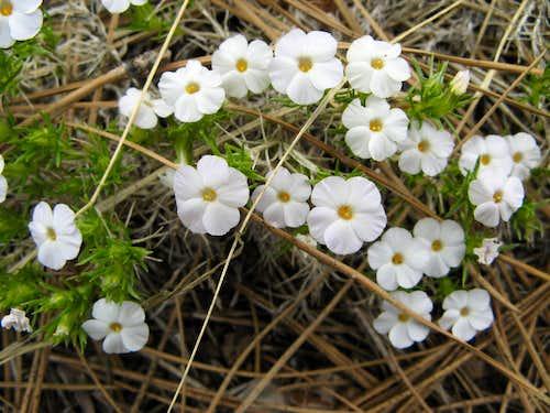 Phlox diffusa, Trout Creek, Carson Range