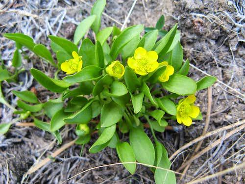 Ranunculus alismifolius, High Meadows, Carson Range