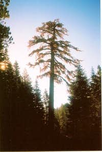 San Gorgonio dying giant