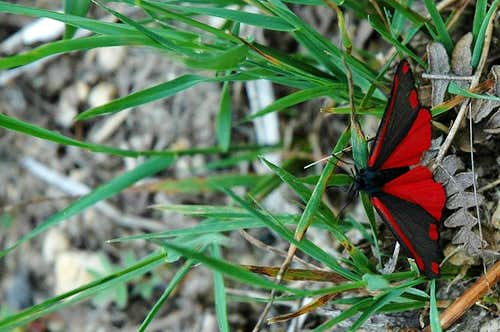 Red Moth/Butterfly