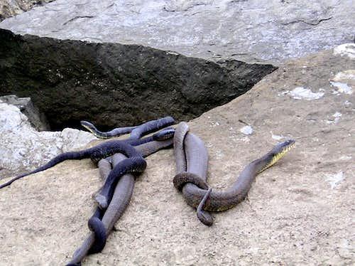 A mess 'o snakes